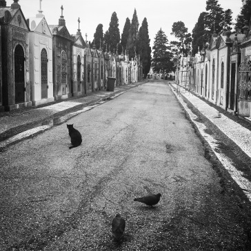 Cemetery cat and pigeons