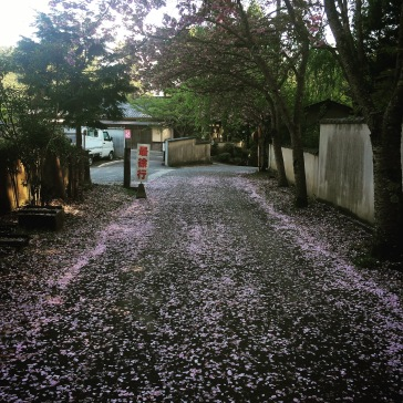 Path between the temple and the cemetery, with cherry blossoms