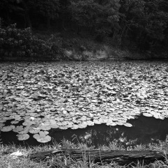 Lotus flowers in a moat
